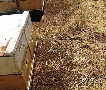 A honey bee poisoning event.