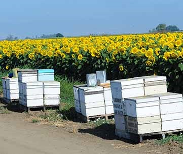 Hives of bees pollinating