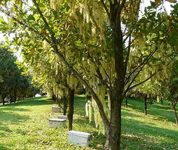 Hives of bees pollinating macadamia trees